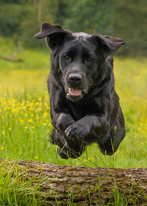 Bruadarach Labradors Breagha