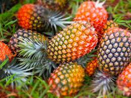 Man sized Pineapple