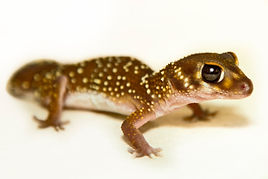 Gecko for hire