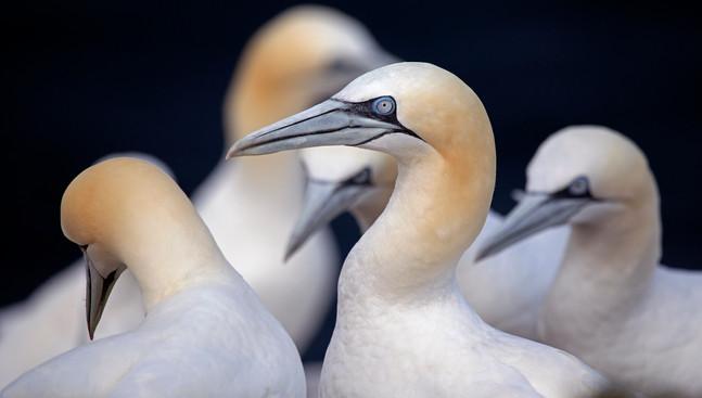 Gannets, Troup Head