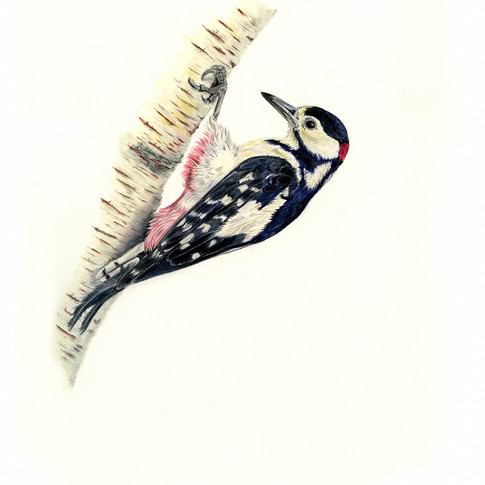 Woodpecker Male 1 smaller.jpg