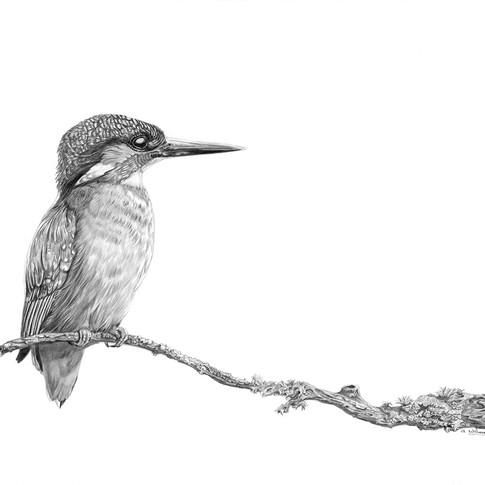 Jims Kingfisher small.jpg
