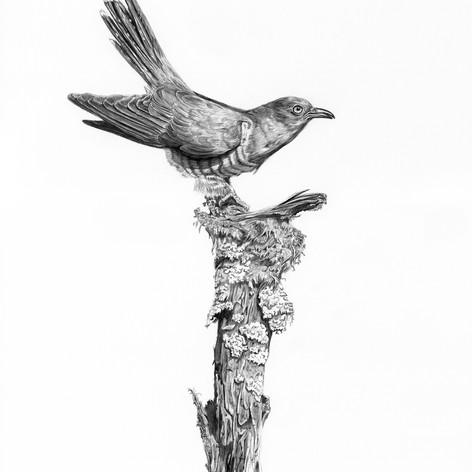 Cuckoo small.jpg