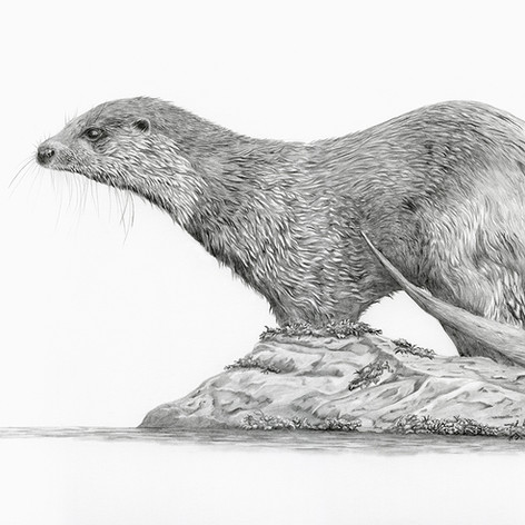 Otter no 2 small.jpg