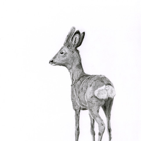 Roe buck Young small.jpg