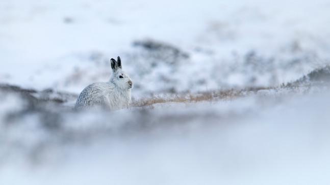 Cairngorm Mountain Hares