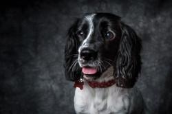 Cocker pet photographer