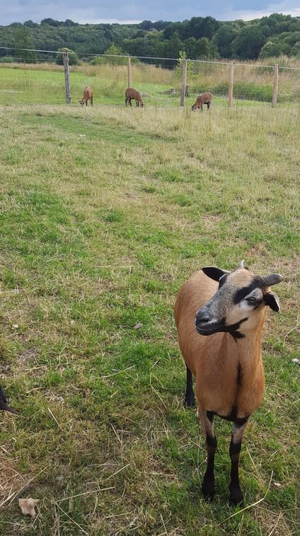 Mouton câlin, ferme pédagogique sarthe