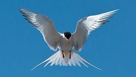 2020-06-03-Flussseeschwalbe-Eidersperrwe