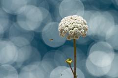 2014-06-15_Pflanze_und_Schwebfliege.jpg