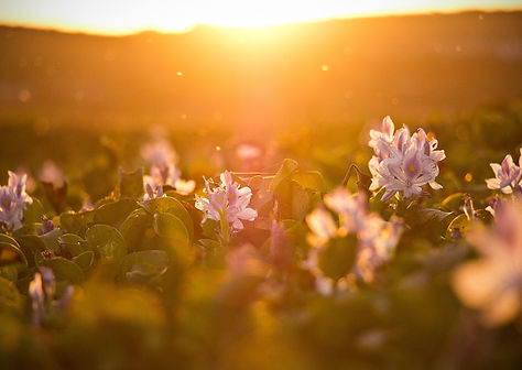 flower field sunset.jpg