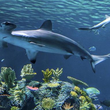 Blue Planet - Denmark - Shark