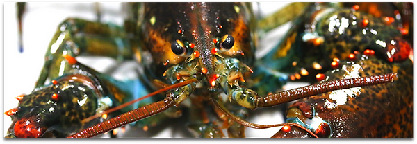 Product_Header_Lobster.png