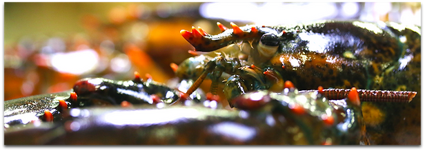 LP_Buyer_Lobster.png