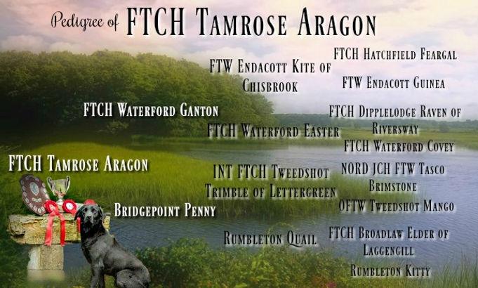 Tamrose Aragon Pedigree.jpg
