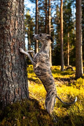 Röja letar godis på träd