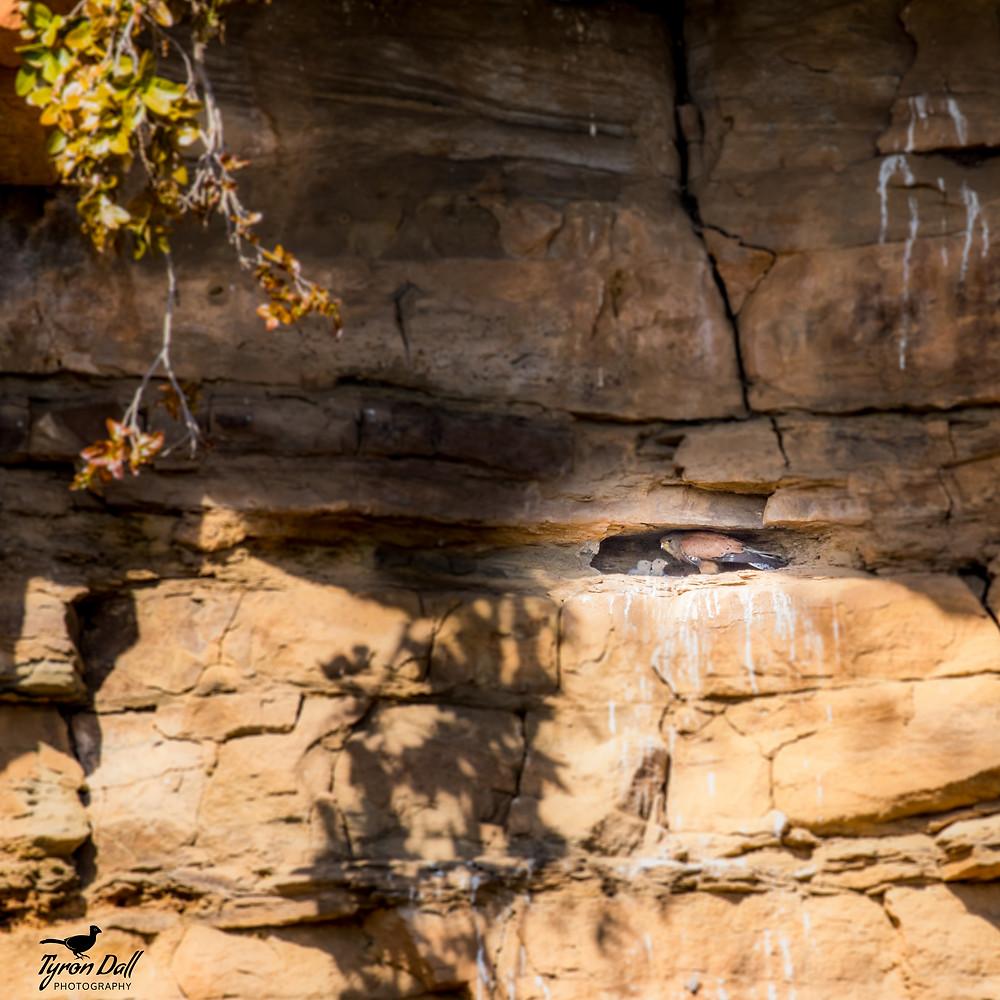 Rock Kestrel with chicks