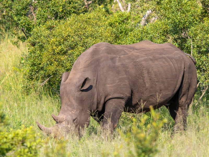 White Rhino feeding at the Kruger National Park