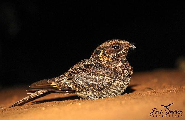 Fiery-necked Nightjar, Harding, Kwa-Zulu Natal
