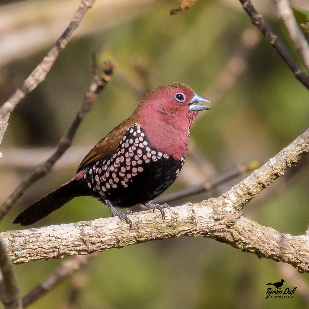 Pink-throated Twinspot at Kuleni Game Park