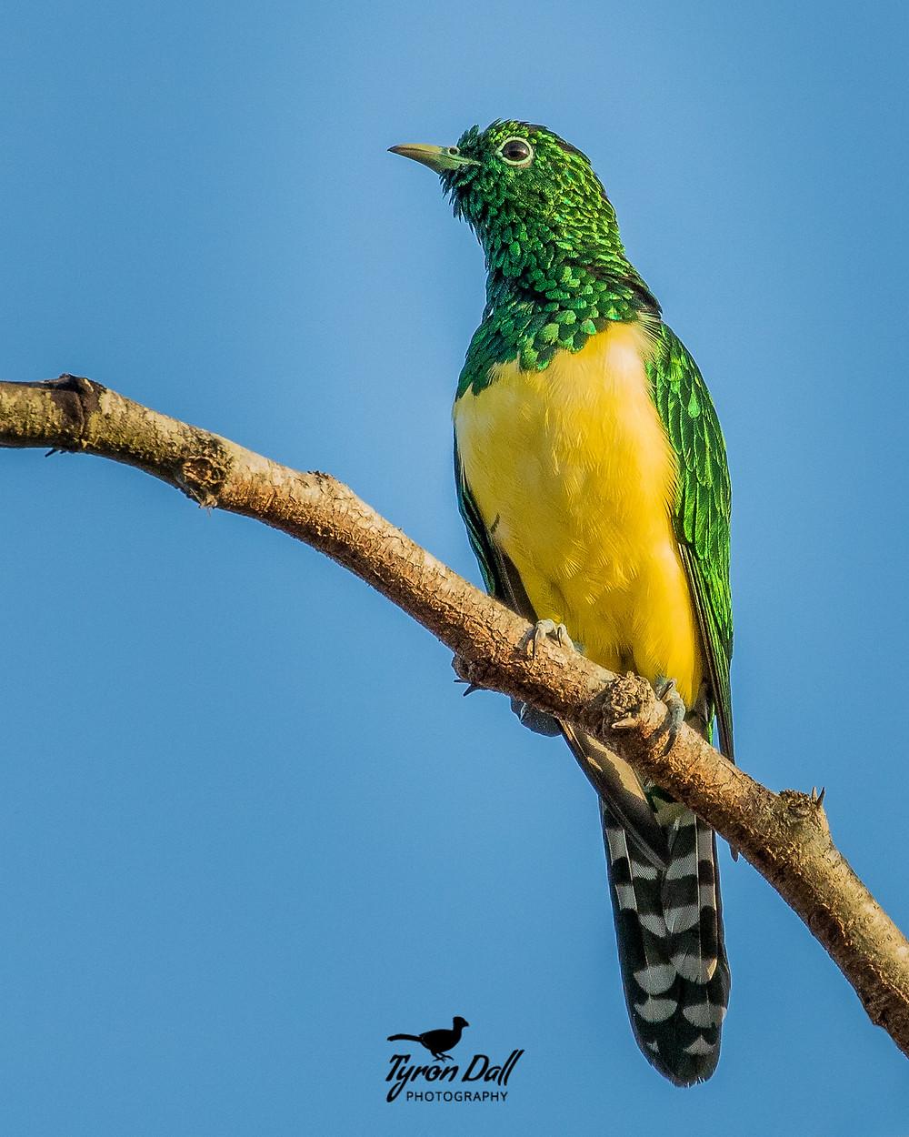 African Emerald Cuckoo, Kwazulu-Natal South Africa