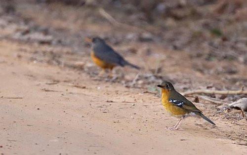 Orange Ground Thrush