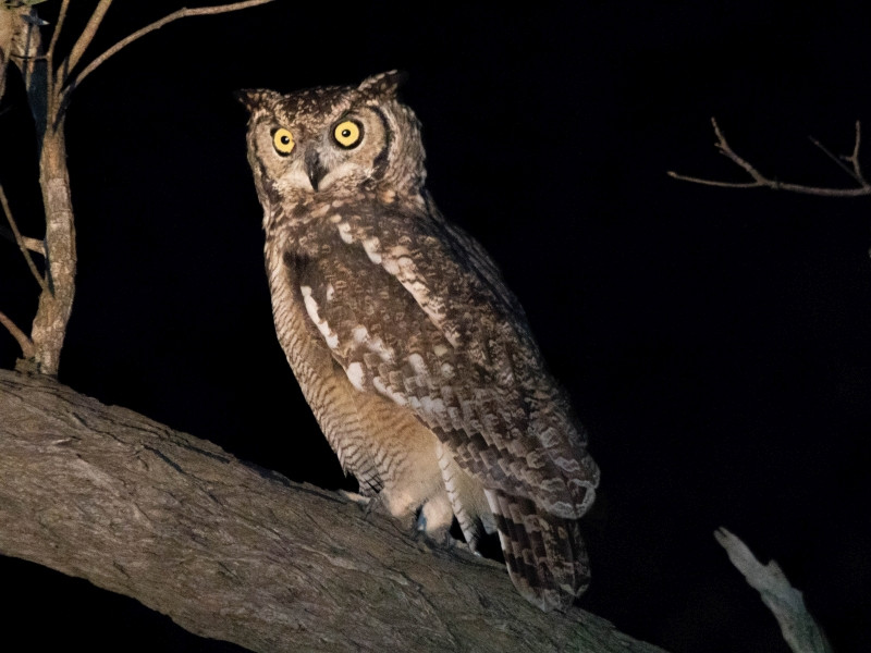 A Spotted Eagle Owl in a tree at the Kruger National Park