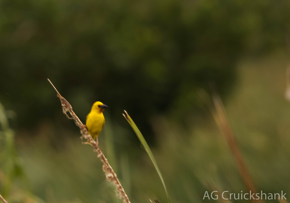 Southern Brown-throated Weaver (really bad image)