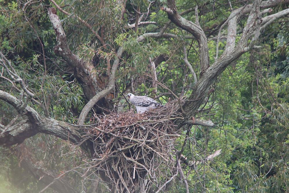 Juvenile Crowned Eagle nest