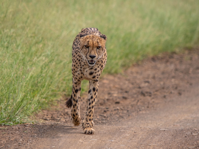 Cheetah walking on the road in the Kruger National Park