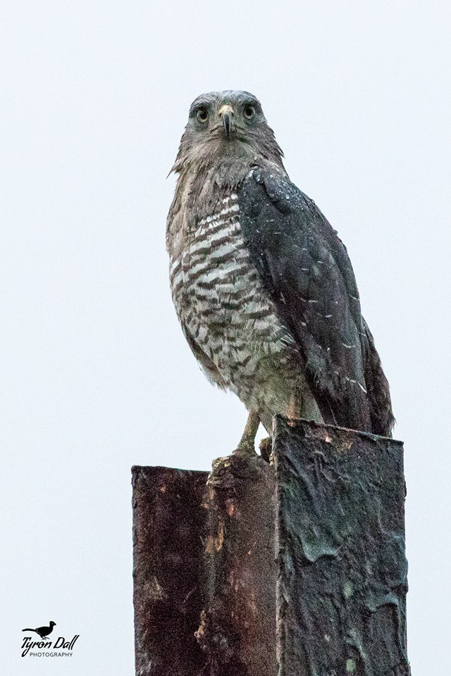 Southern Banded Snake Eagle Photo Tyron Dall