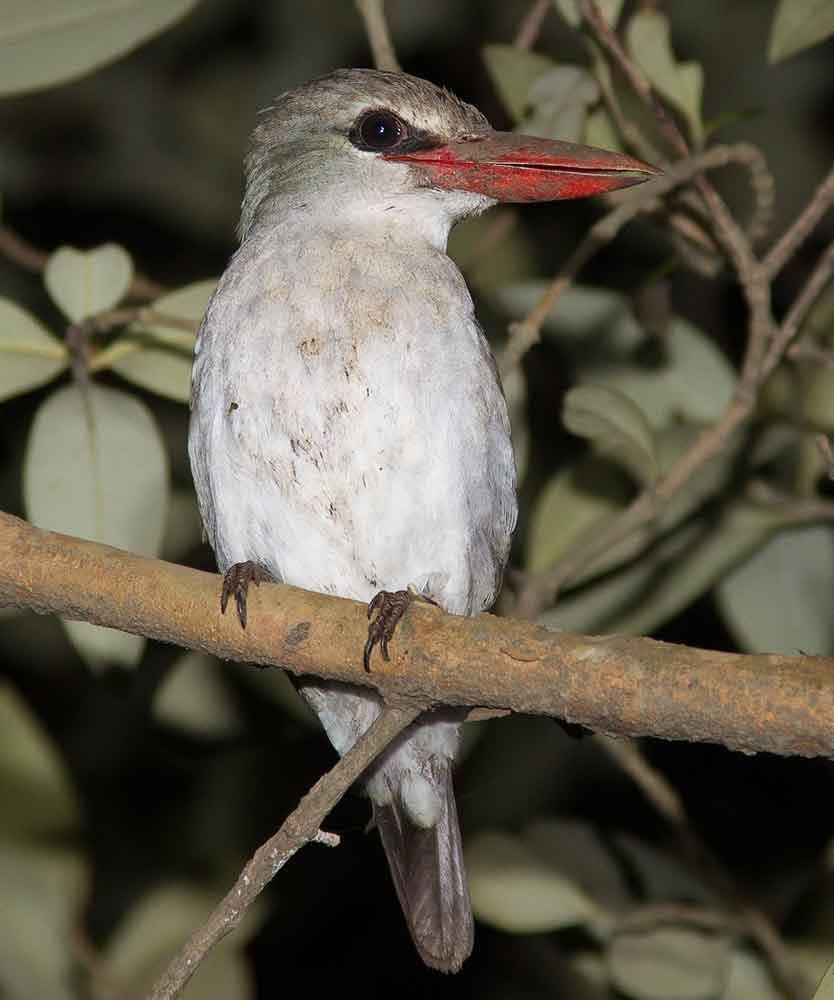 Mangrove Kingfisher, Richards Bay Kwazulu-Natal