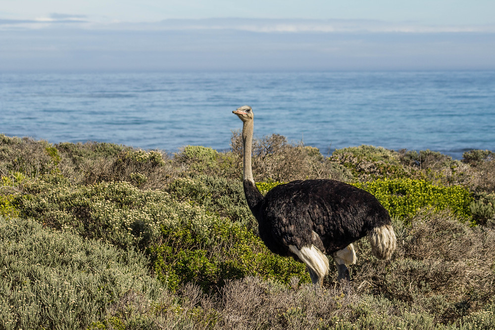 Common Ostrich - Cape Point Nature Reserve