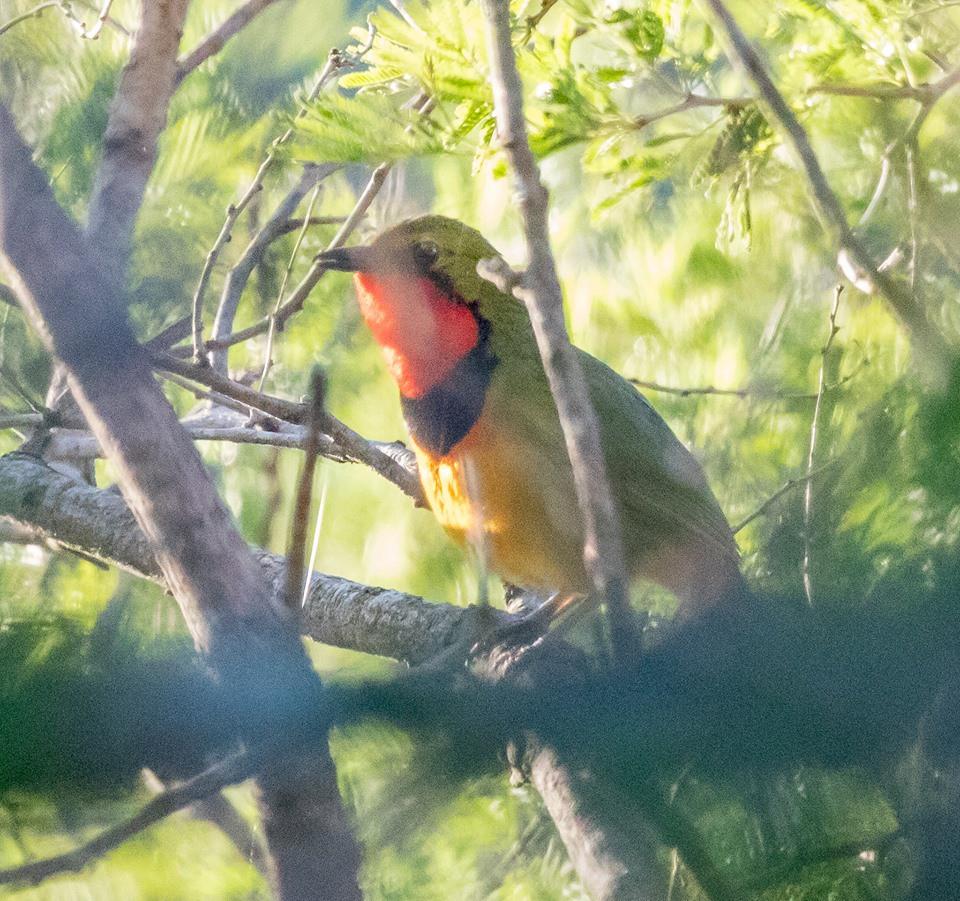 Gorgeous Bushshrike photo credits Tyron Dall