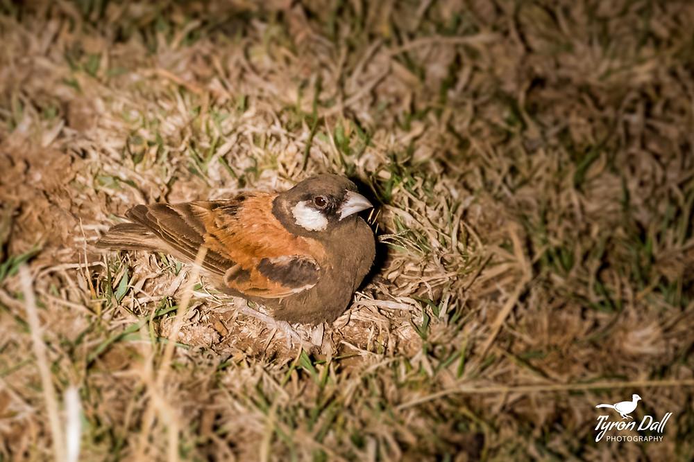 Chestnut-backed Sparrow Lark