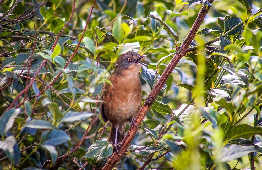 Victorin's Warbler - Harold Porter Botanical Gardens