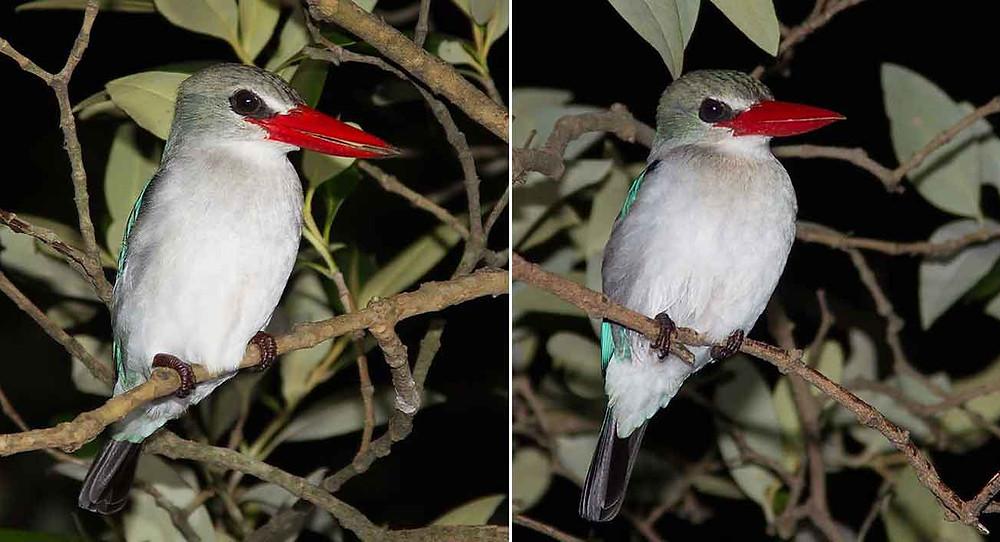 Mangrove Kingfisher