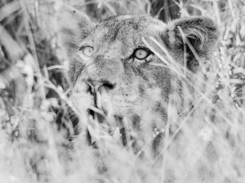 A lion at a kill in the Kruger National Park