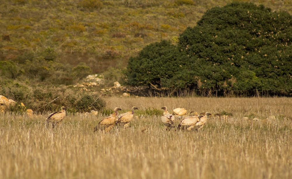 Cape Vultures - Potberg Mountains, De Hoop Nature Reserve