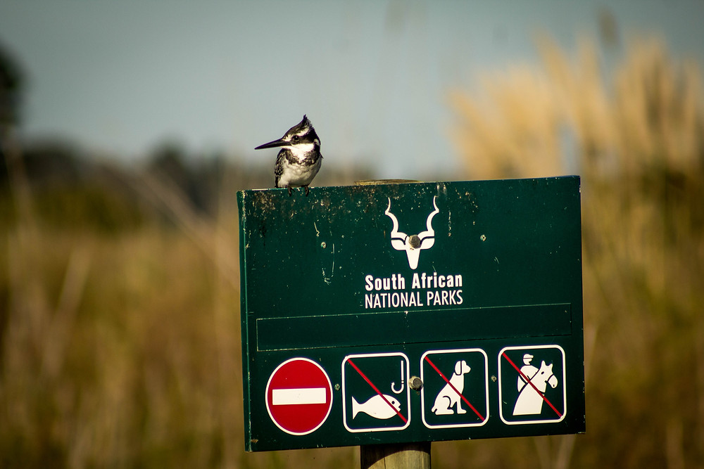 Pied Kingfisher - Garde Route National Park