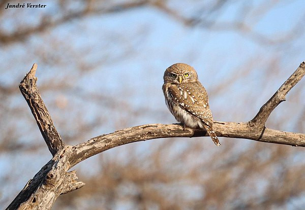 Pearl-spotted Owlet on branch