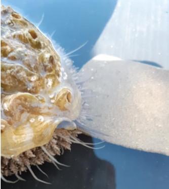 Abalone feeding