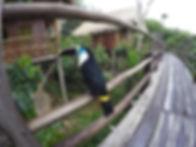tucano da amazonia