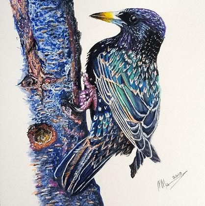 'Starling'