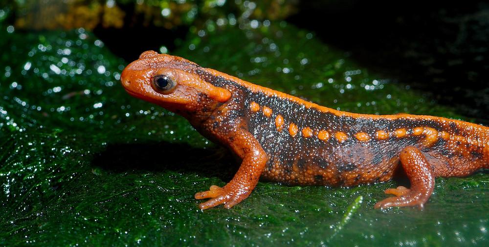 Salamandre mandarin (Tylototriton shanjing)