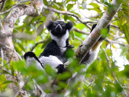 L'indri, le plus grand des lémuriens est menacé
