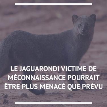 Jaguarondi