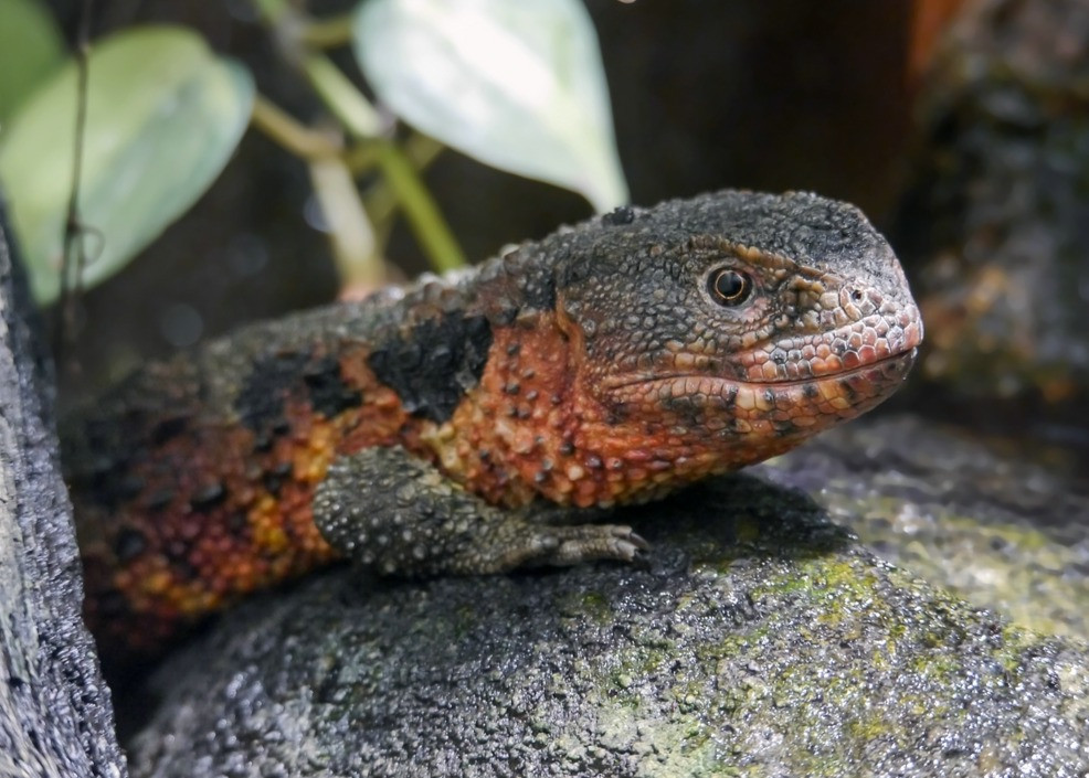 lézard crocodile de Chine (Shinisaurus crocodilurus)