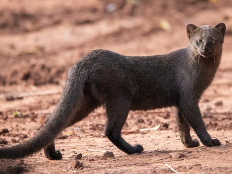 Le jaguarondi, victime de méconnaissance, pourrait être plus menacé que prévu