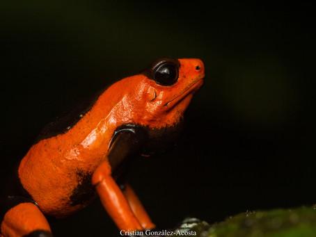 La grenouille vénéneuse de Lehman victime du trafic illégal